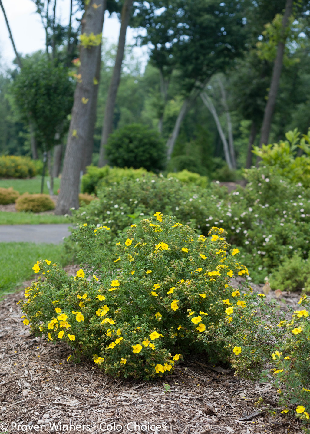 Happy Face Yellow Potentilla Fruticosa Proven Winners