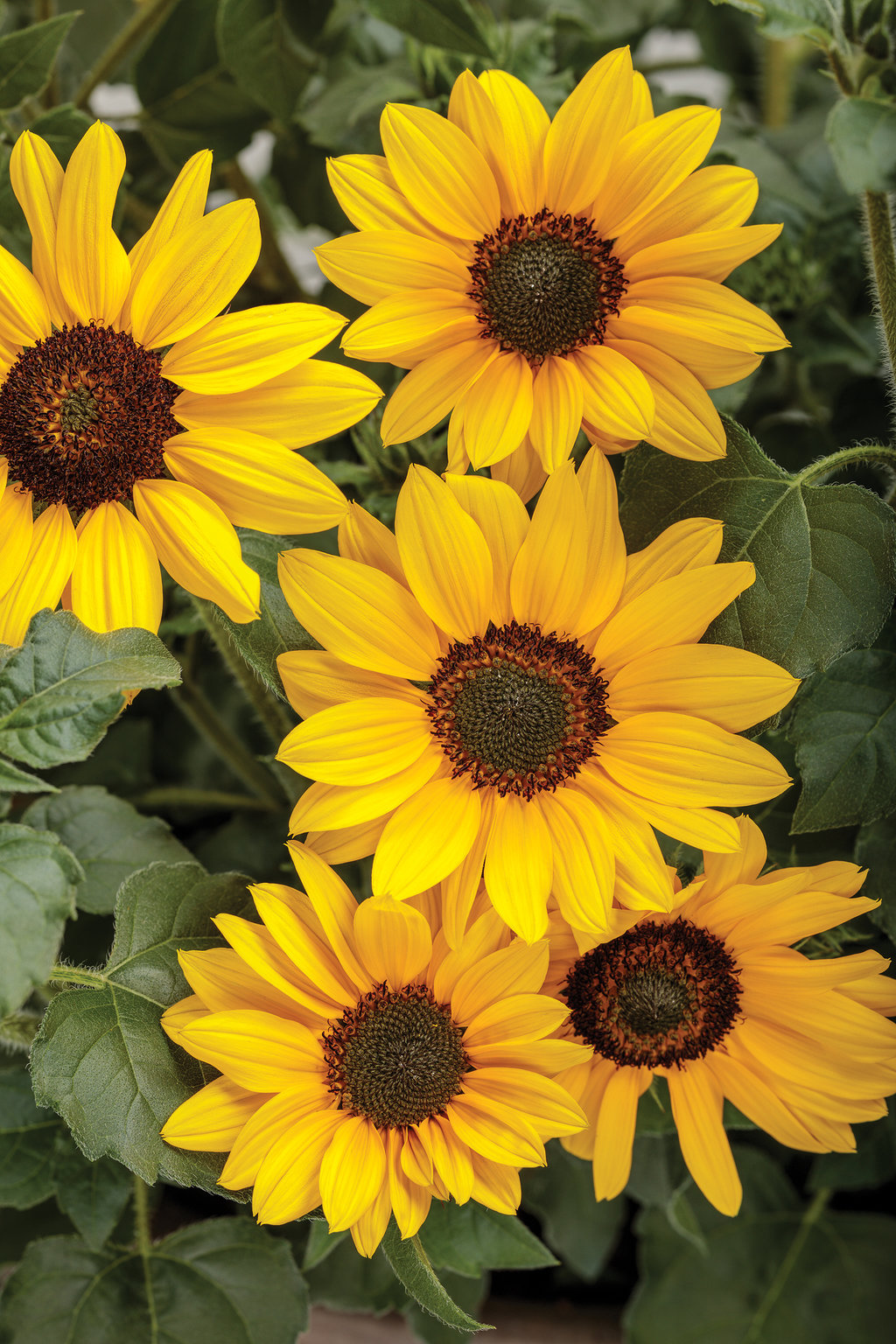 Suncredible 174 Yellow Sunflower Helianthus Hybrid