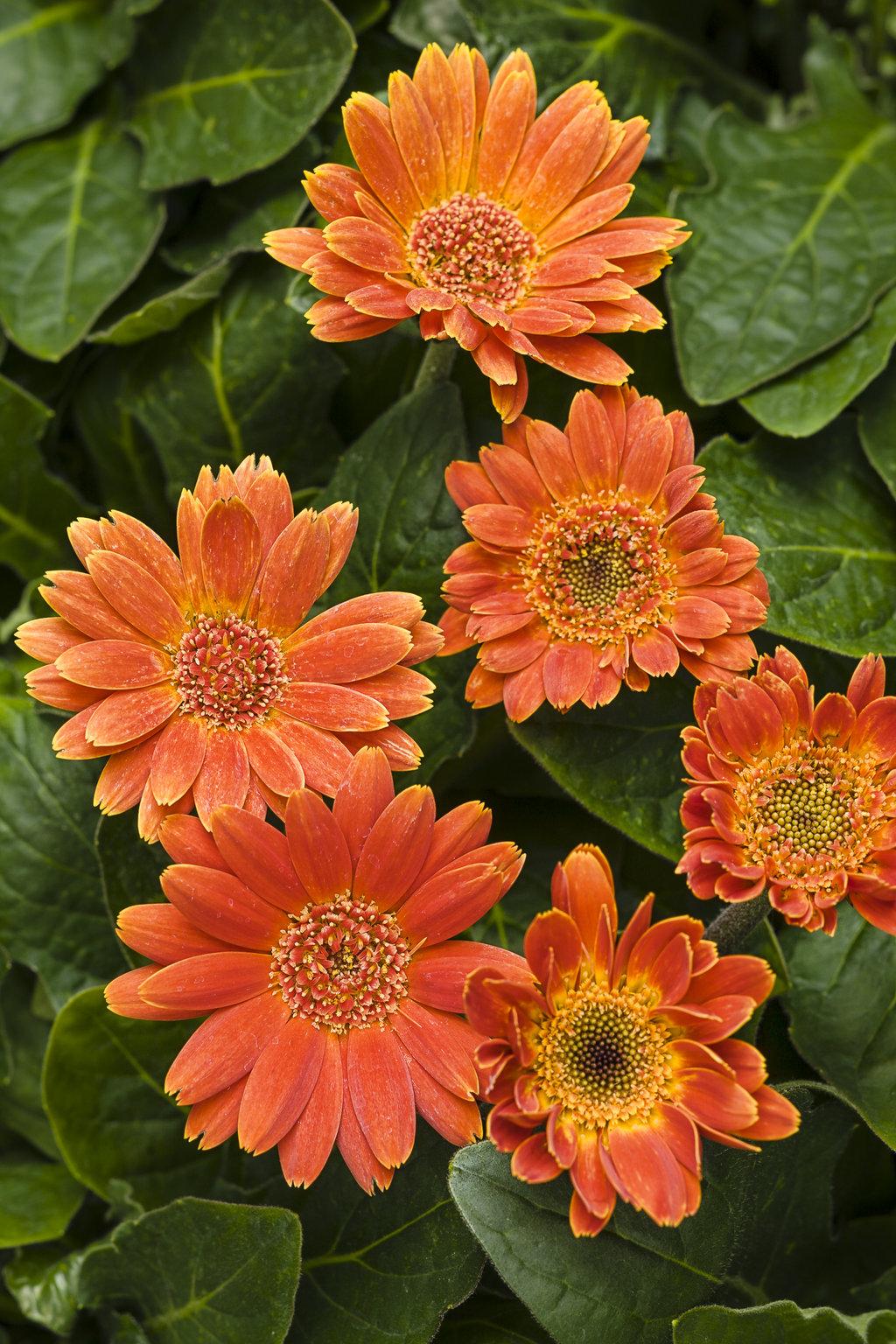 Hello pumpkin gerbera daisy gerbera hybrid proven winners hellopumpkintagimageg izmirmasajfo