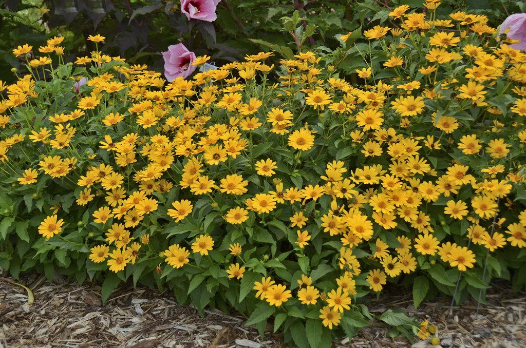 Tuscan sun perennial sunflower heliopsis helianthoides proven tuscan sun perennial sunflower heliopsis helianthoides proven winners mightylinksfo