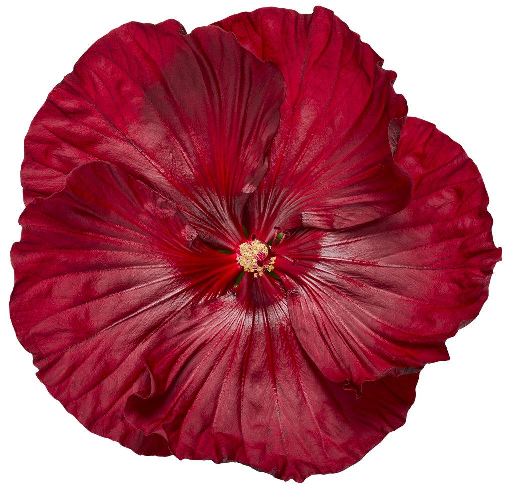 Summerific Cranberry Crush Rose Mallow Hibiscus Hybrid