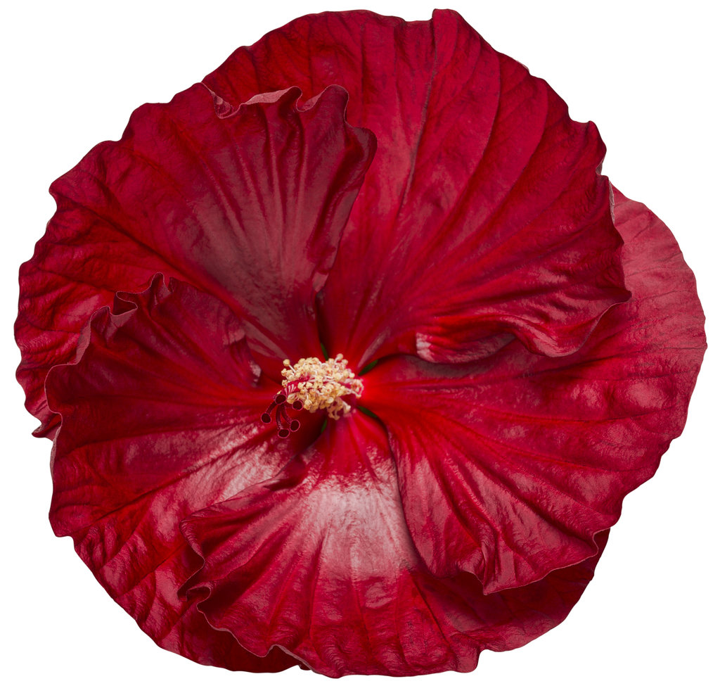 Summerific Cranberry Crush Rose Mallow Hibiscus Hybrid