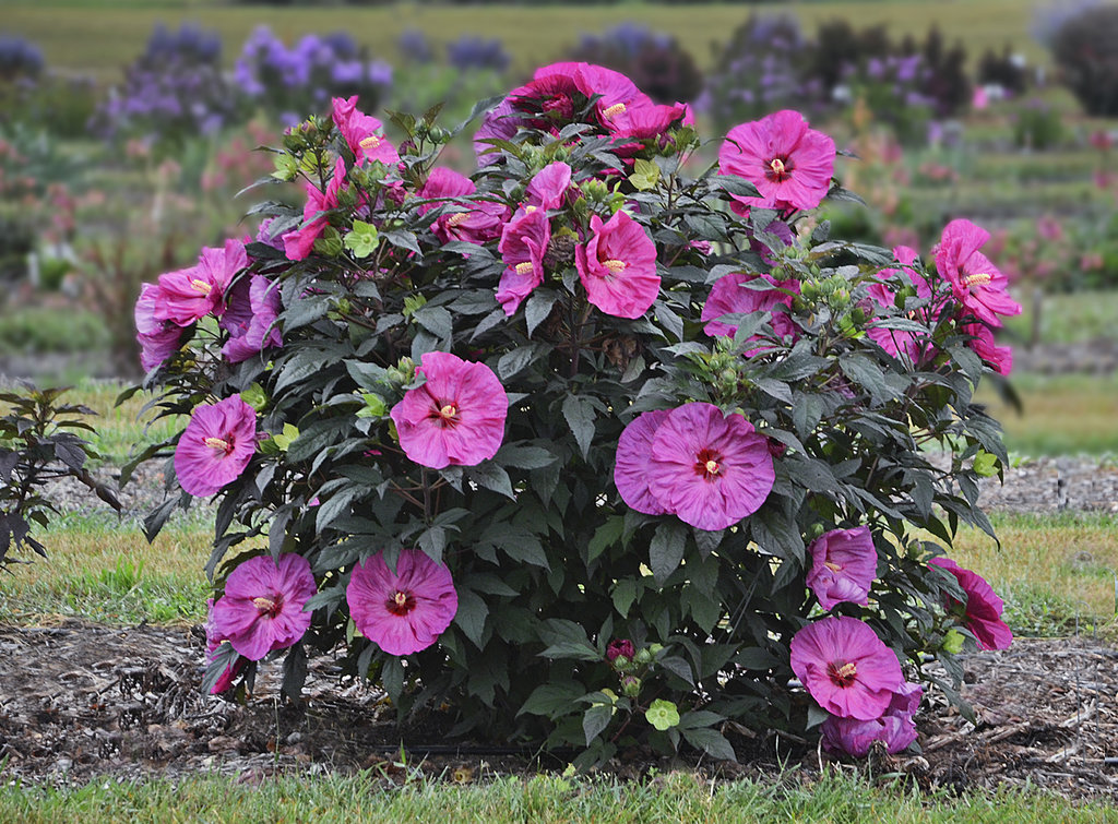 Summerific Berry Awesome Rose Mallow Hibiscus Hybrid Proven