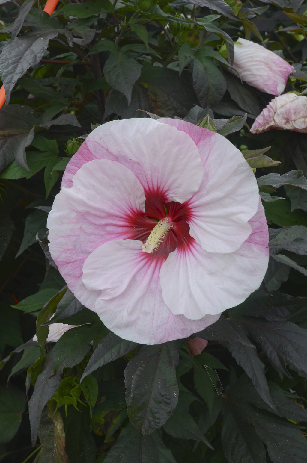 Summerific Perfect Storm Rose Mallow Hibiscus Hybrid Proven