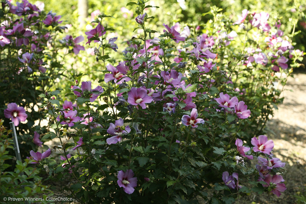 Purple Satin Rose Of Sharon Hibiscus Syriacus Proven Winners