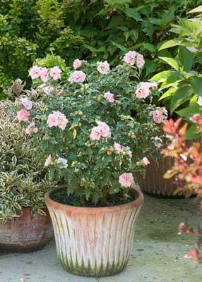 Sugar Tip Rose Of Sharon Hibiscus Syriacus Proven Winners