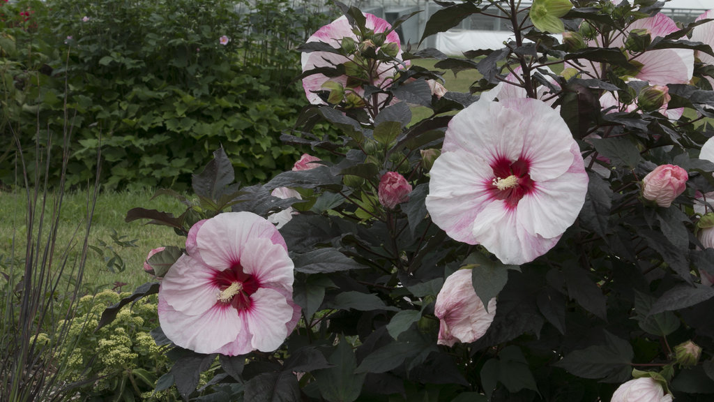 Summerific Perfect Storm Rose Mallow Hibiscus Hybrid Proven