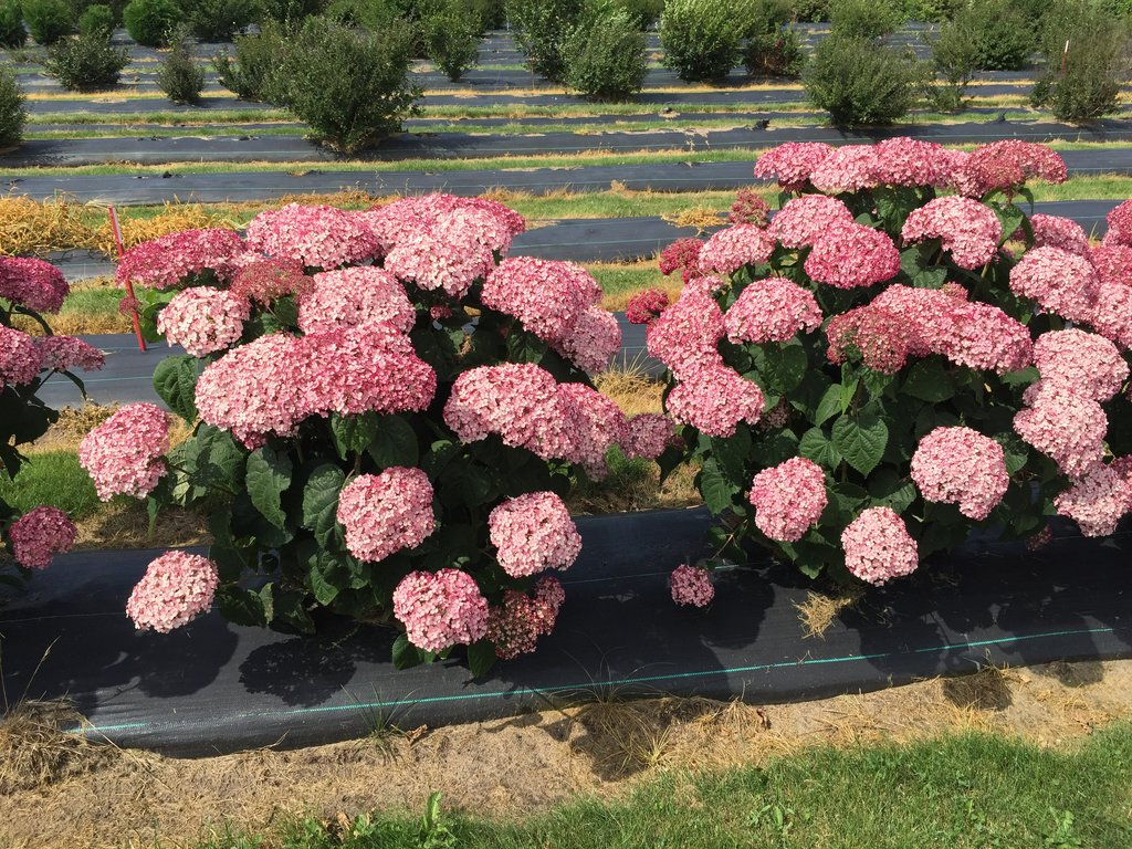 Incrediball Blush Pink Annabelle Hydrangea