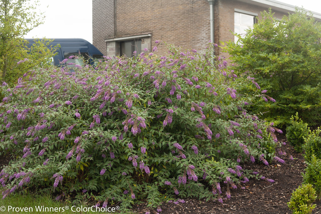 Inspired Violet Butterfly Bush Buddleia X Images