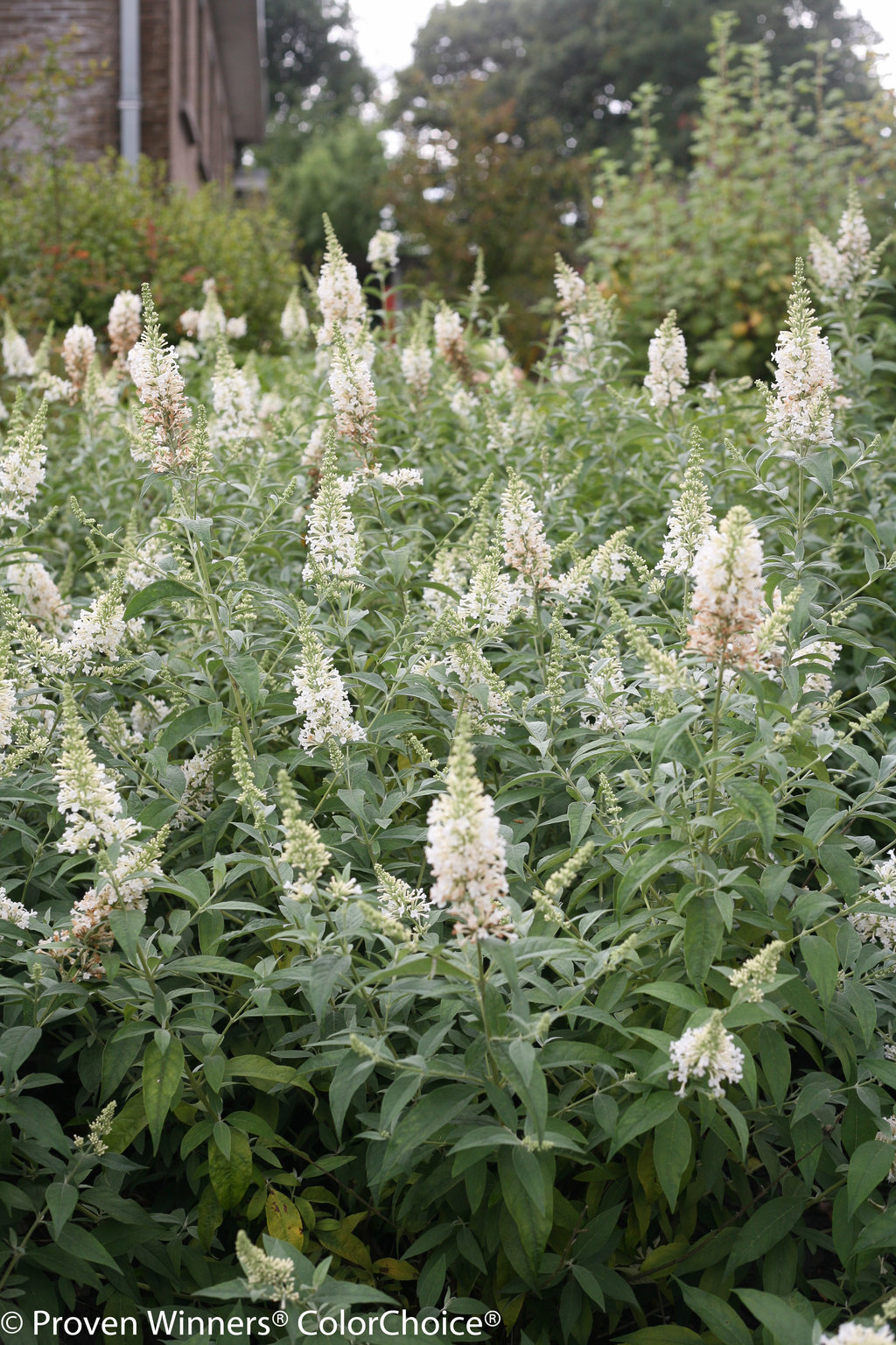 Inspired White Butterfly Bush Buddleia X Images