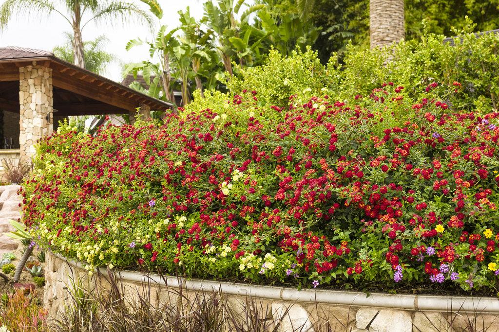 Luscious 174 Berry Blend Lantana Camara Images Proven