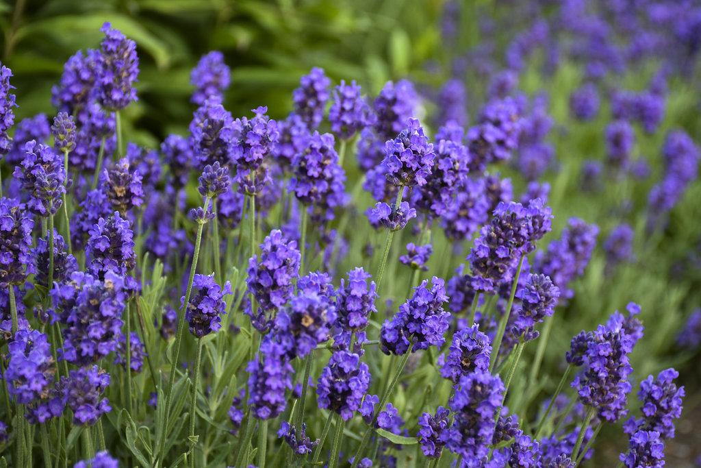 Sweet Romance Lavender Lavandula Angustifolia Proven Winners