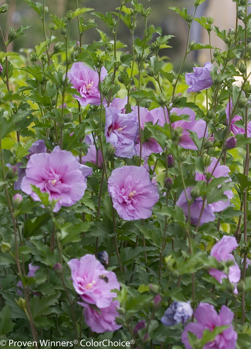 Lavender Chiffon Hibiscus Syriacus Proven Winners