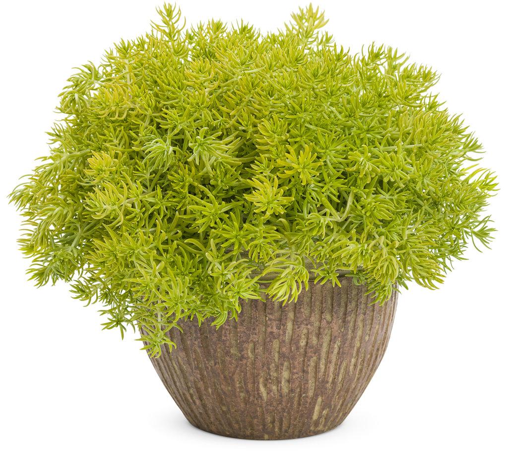 Lemon Coral™ - Sedum mexicanum Images   Proven Winners