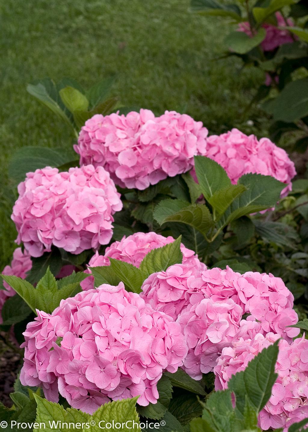 Lets Dance Big Easy Reblooming Hydrangea Hydrangea