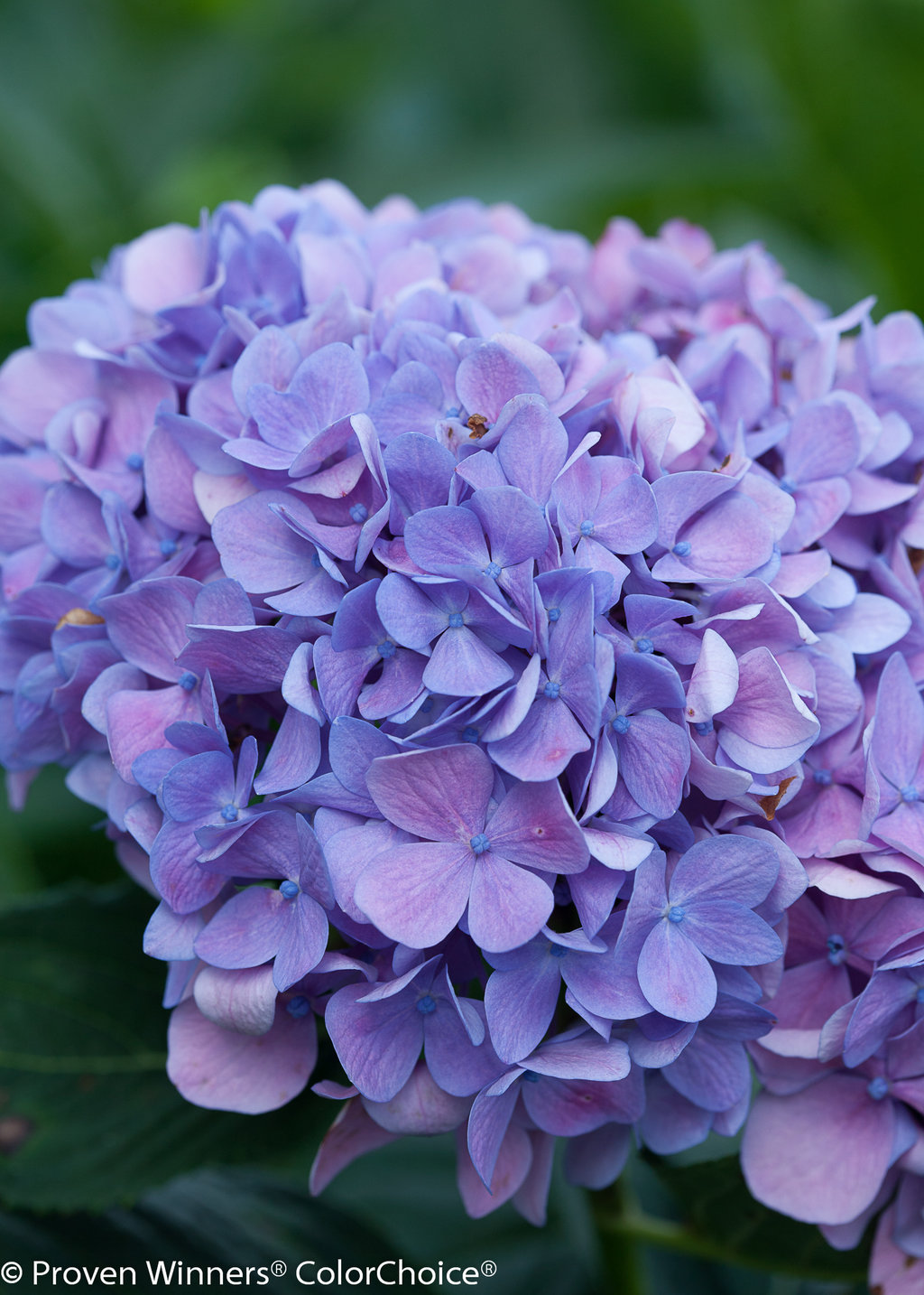Lets Dance Moonlight Hydrangea 4 Jpg