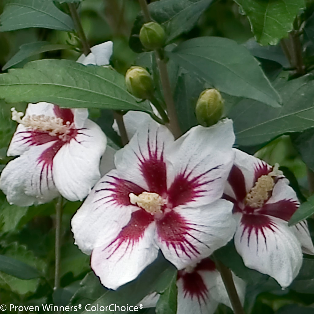 lil 39 kim rose of sharon hibiscus syriacus images. Black Bedroom Furniture Sets. Home Design Ideas