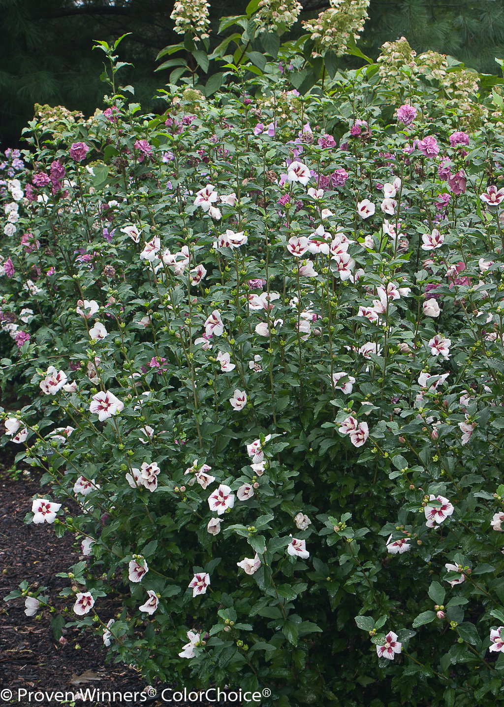 Lil Kim Rose Of Sharon Hibiscus Syriacus Proven Winners