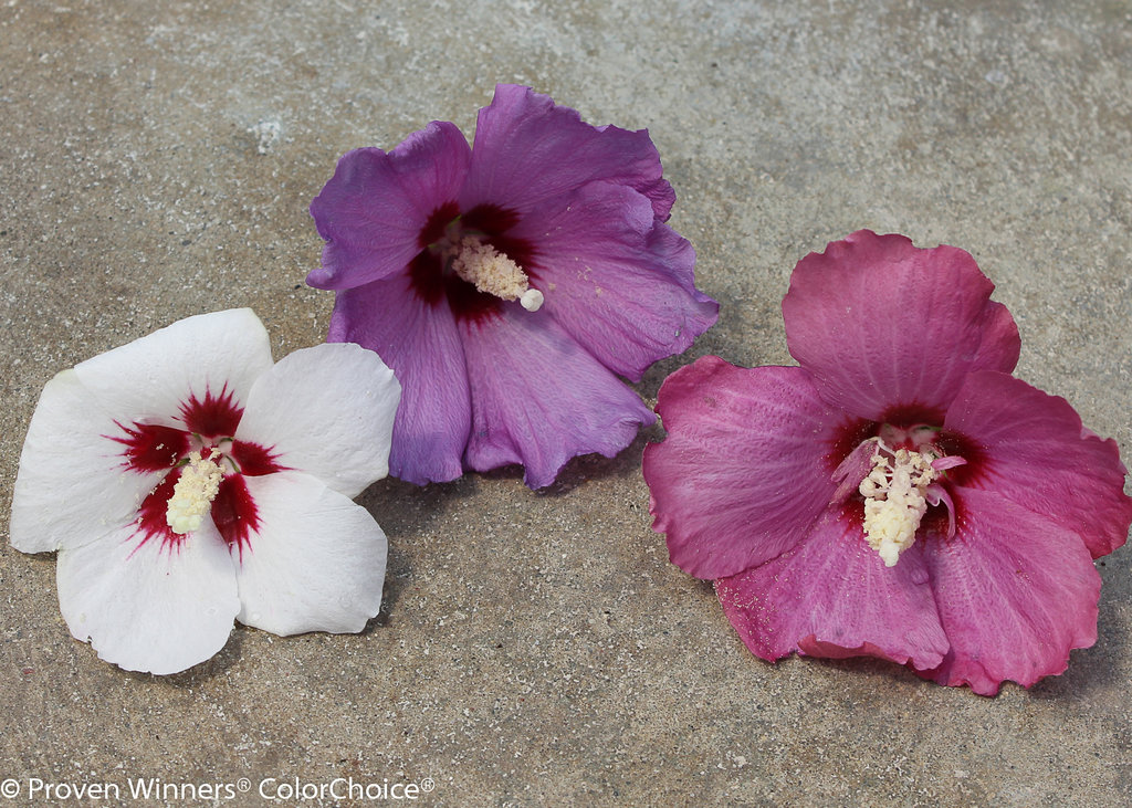 Lil Kim Rose Of Sharon Hibiscus Syriacus