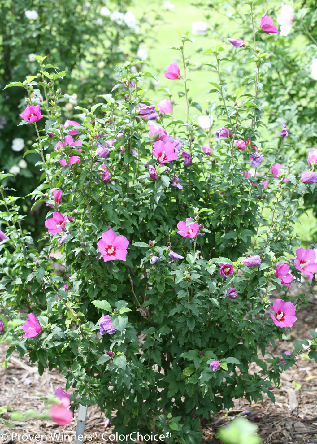 Lil Kim Violet Rose Of Sharon Hibiscus Syriacus Proven Winners