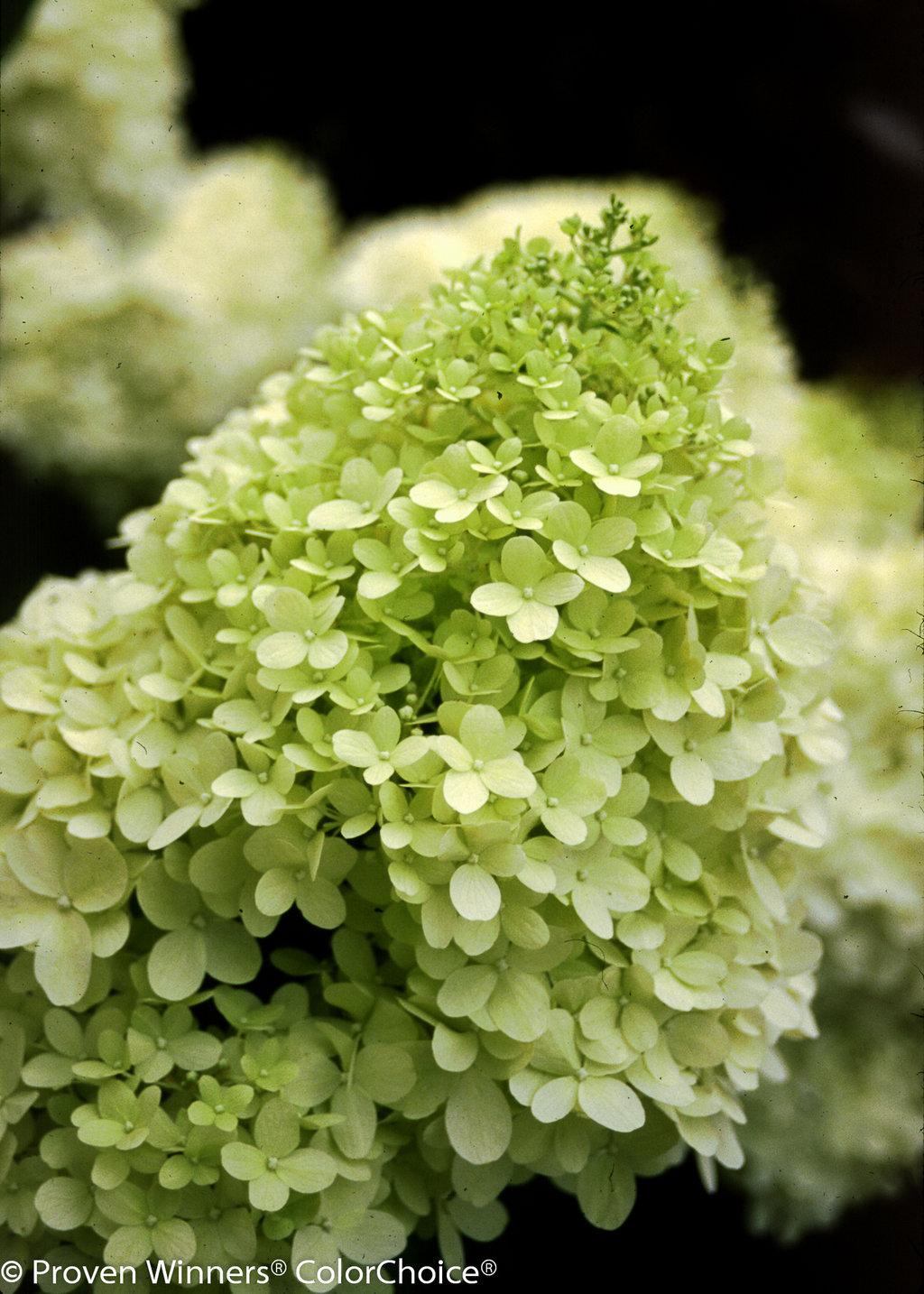 39 limelight 39 hardy hydrangea hydrangea paniculata for Limelight hydrangea