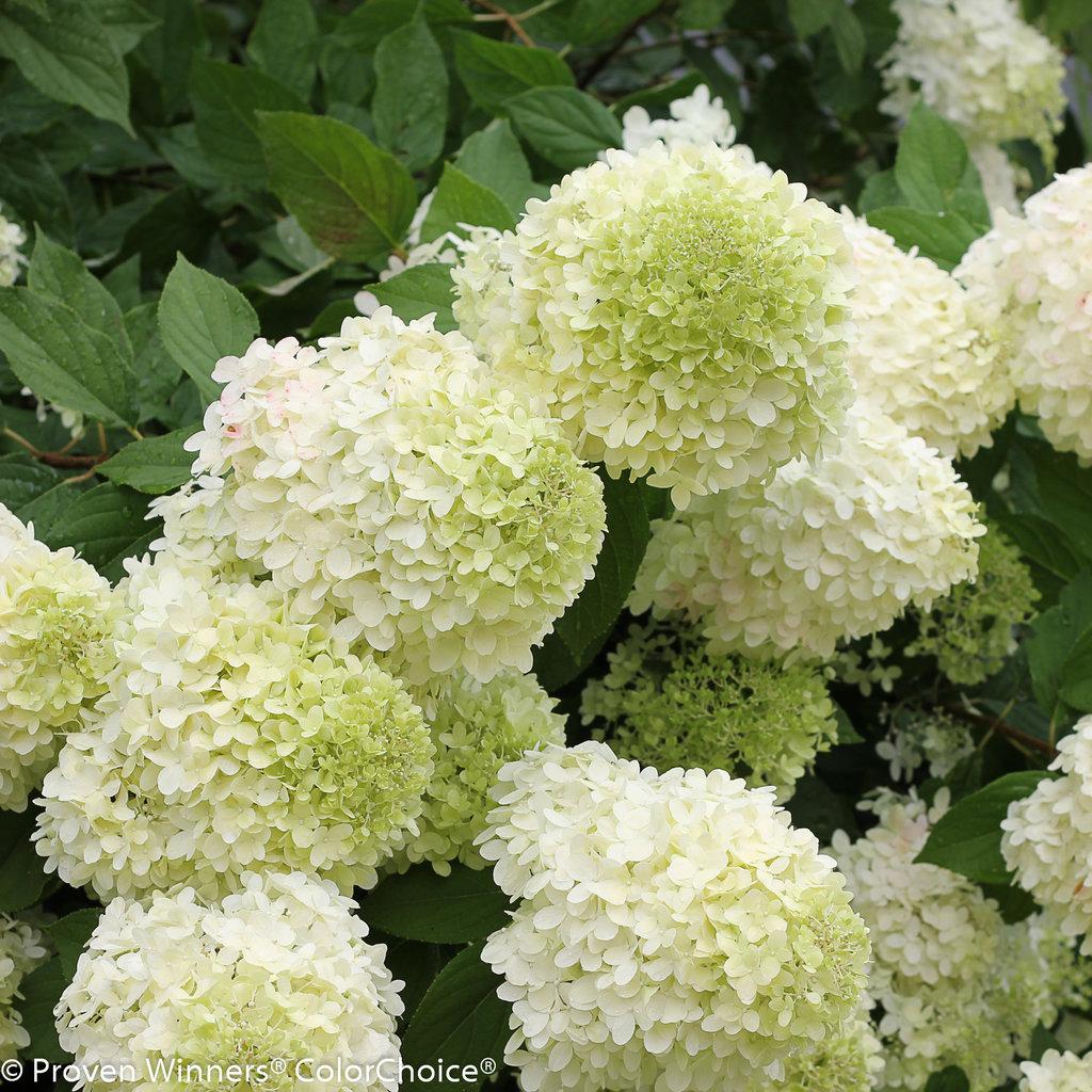 Limelight hydrangea mature size