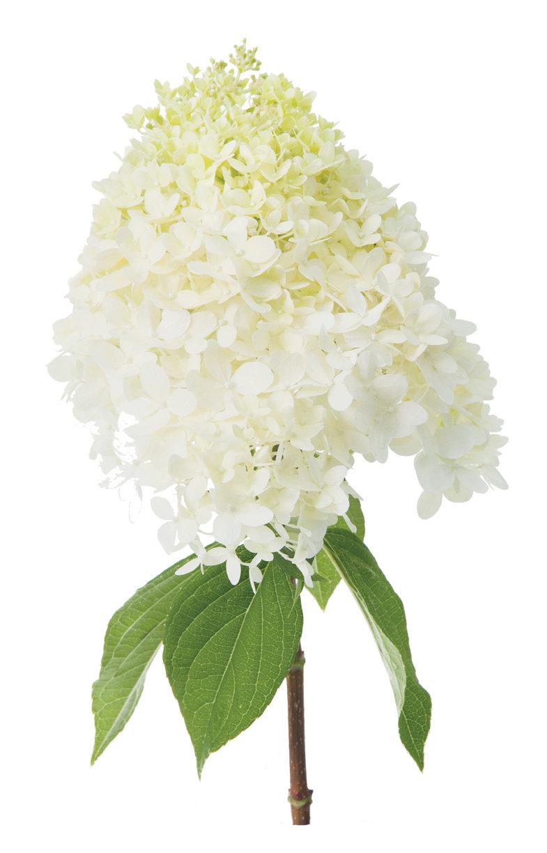 Limelight panicle hydrangea hydrangea paniculata proven winners limelighthydrangea2g mightylinksfo