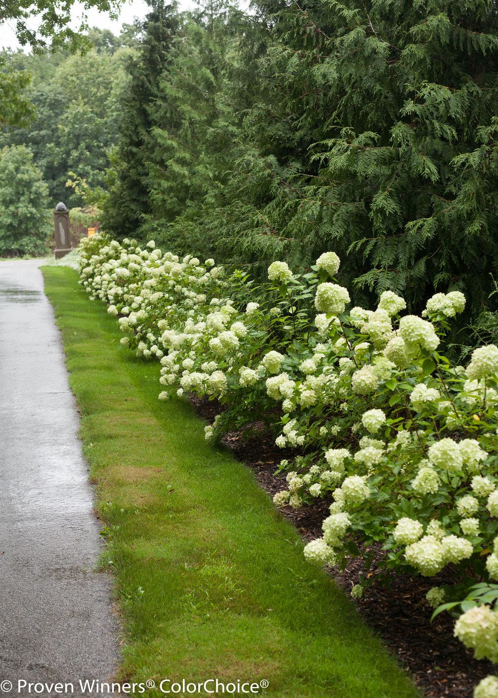 Little Limeu00ae - Panicle Hydrangea - Hydrangea paniculata Images : Proven Winners