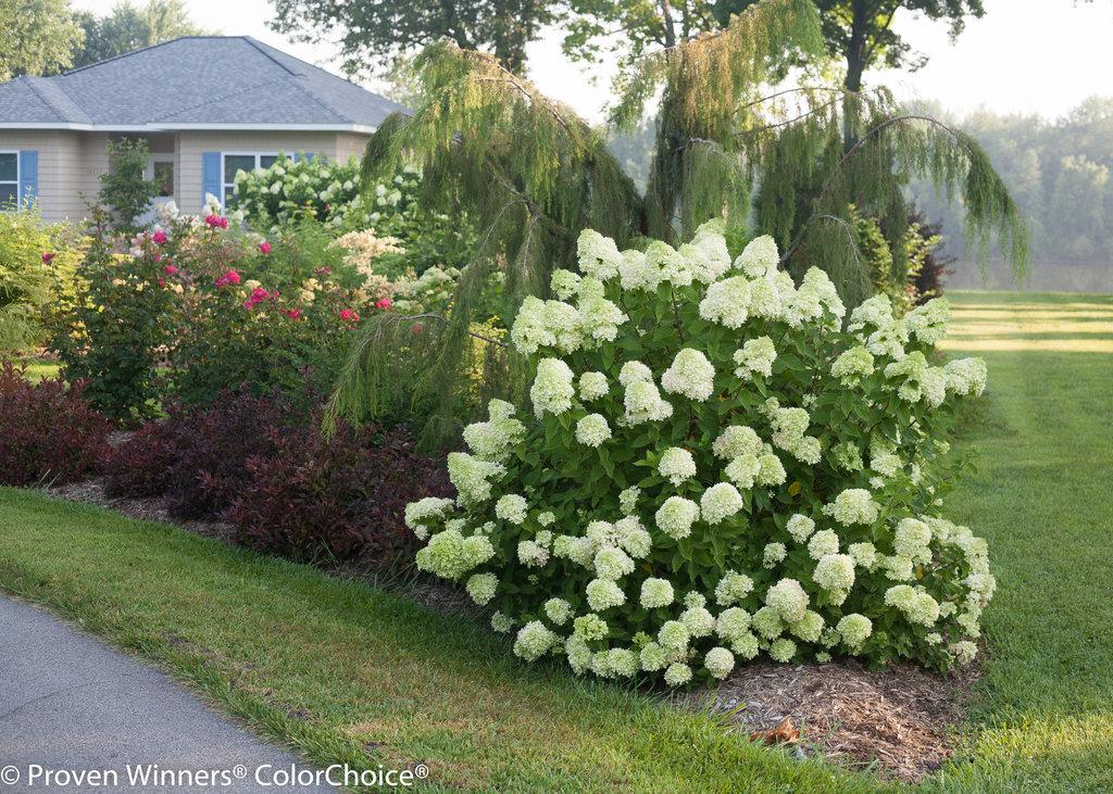 incrediball-hydrangea-companion-plants