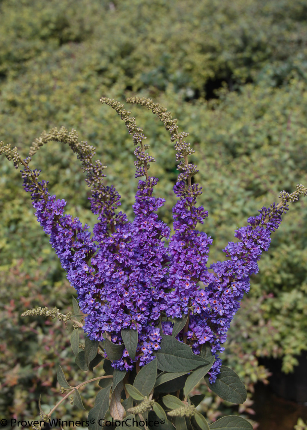 Garden Bush: Lo & Behold® 'Blue Chip Jr.'