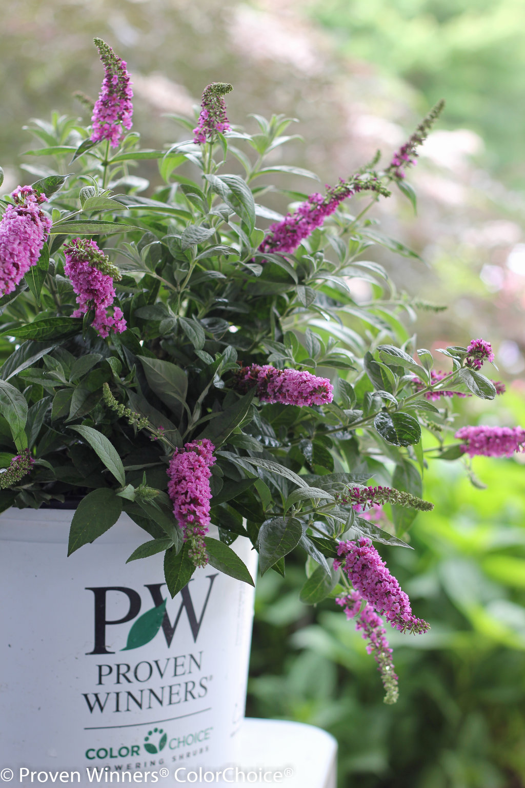 Lo Amp Behold 174 Pink Micro Chip Butterfly Bush Buddleia