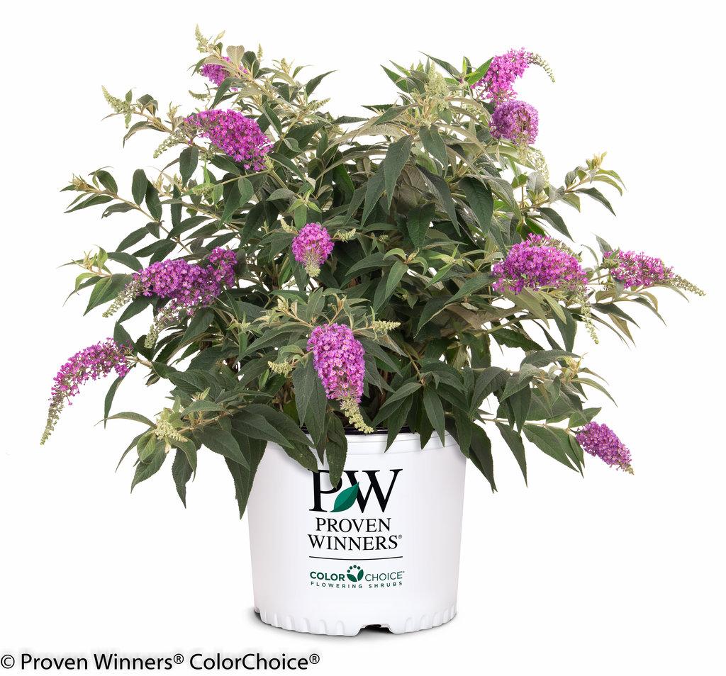 Lo Amp Behold 174 Purple Haze Butterfly Bush Buddleia X