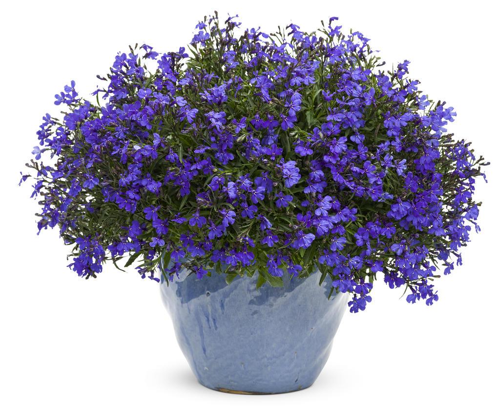 Lucia dark blue lobelia erinus images proven winners - Plantas para exterior ...