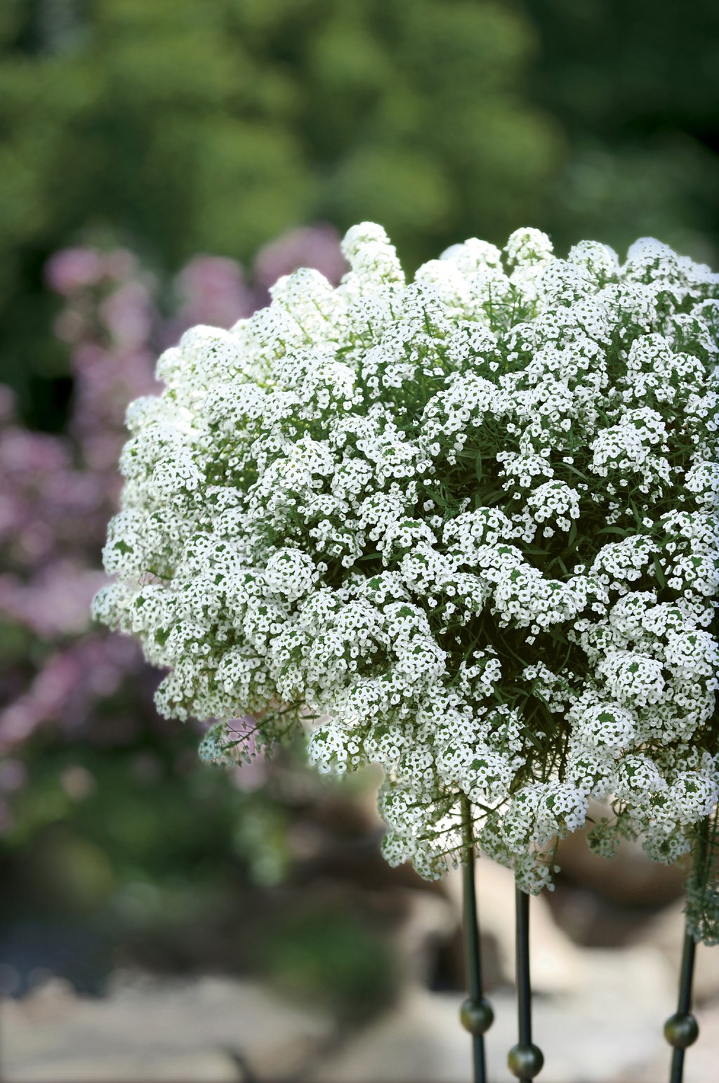 snow princess sweet alyssum lobularia hybrid images. Black Bedroom Furniture Sets. Home Design Ideas