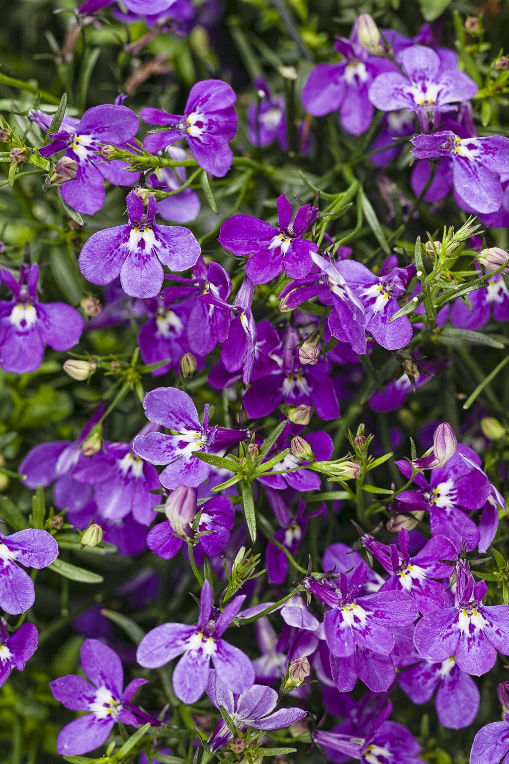 Laguna Ultraviolet Lobelia Erinus Proven Winners