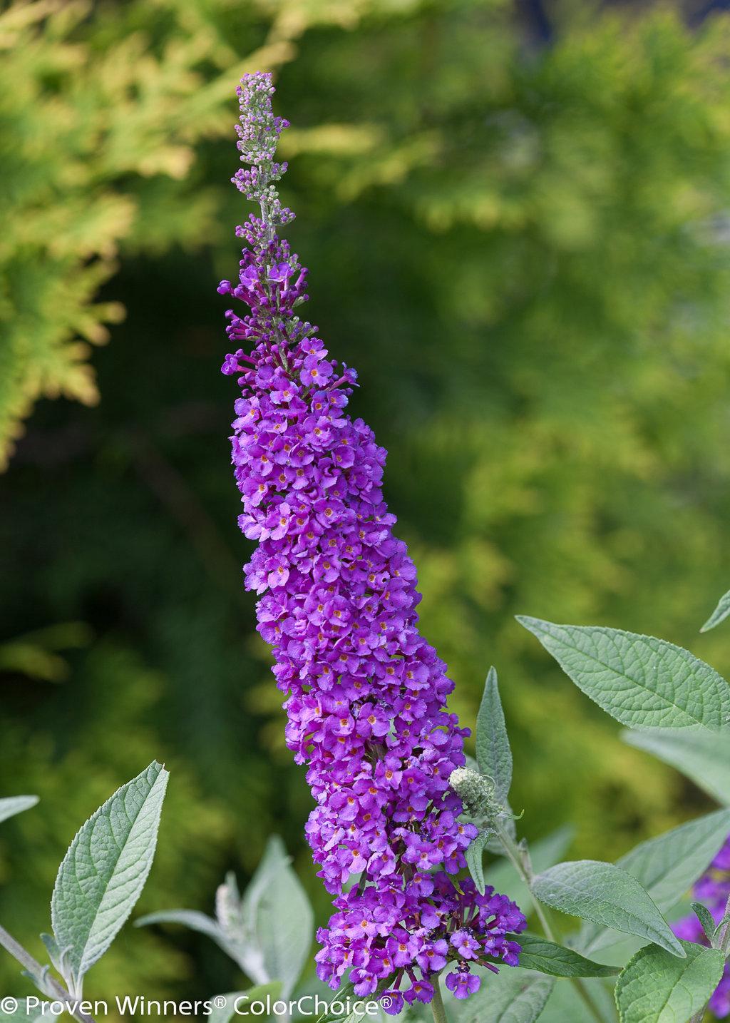 Miss Violet Butterfly Bush Buddleia X Proven Winners