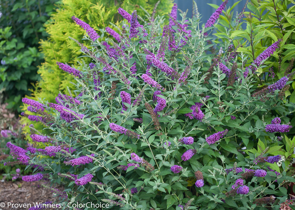 Miss Violet Butterfly Bush Buddleia X Images