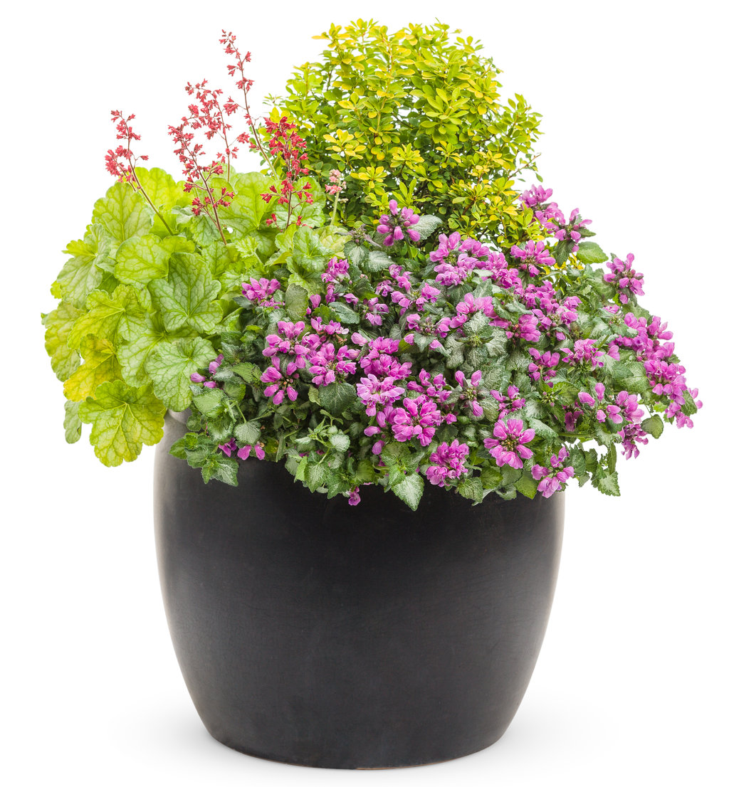 39 golden treasure 39 dwarf birch betula x plettkei proven winners - Growing petunias pots balconies porches ...