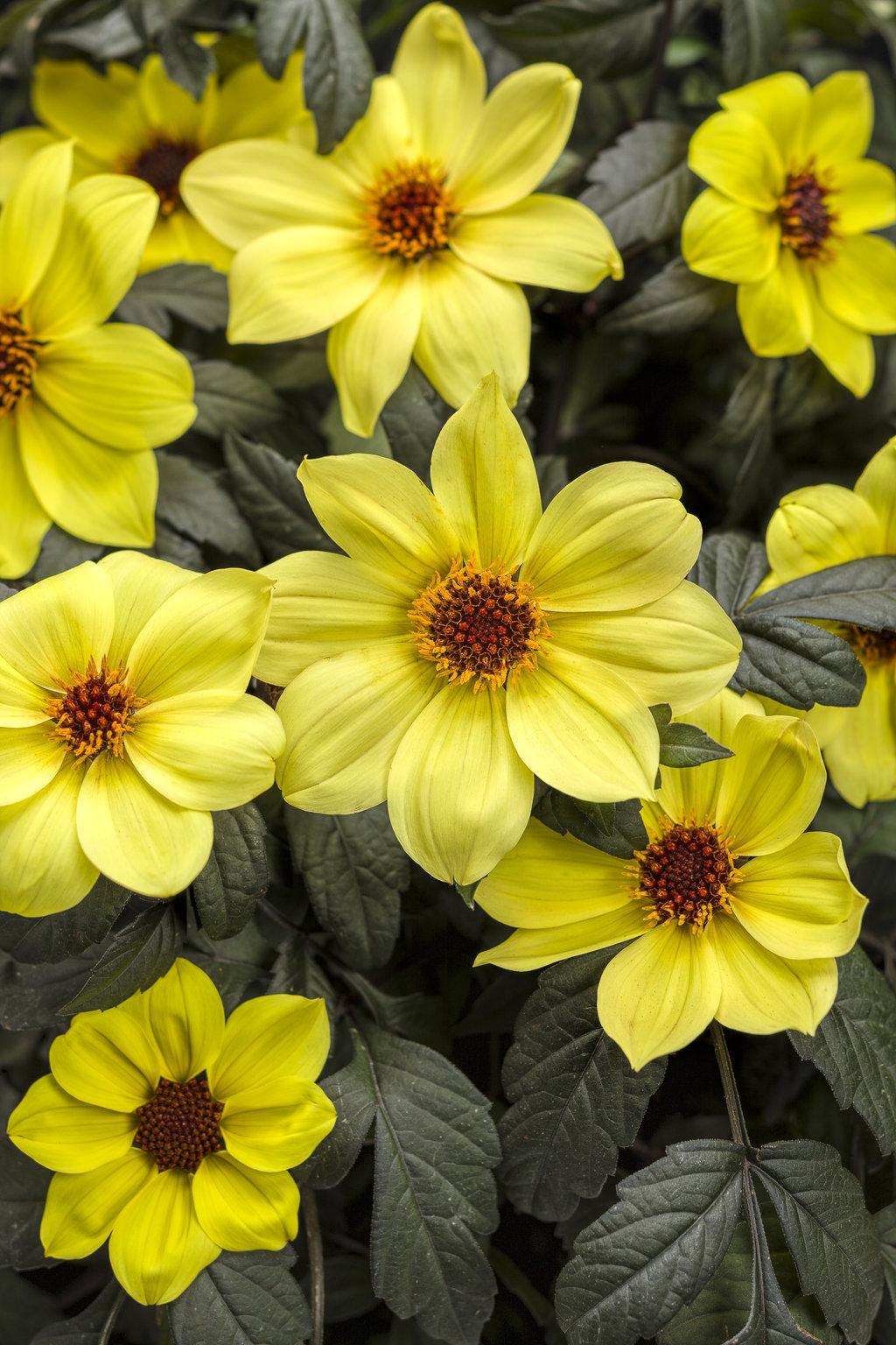 Mystic Illusion Dahlia Hybrid Proven Winners