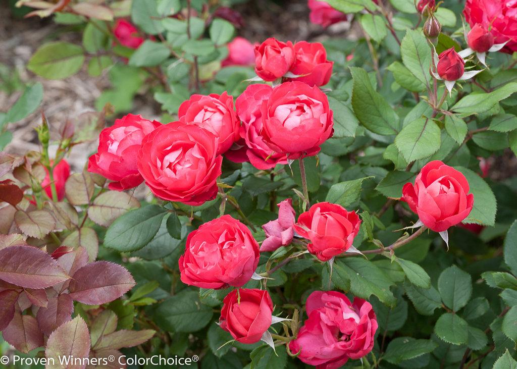Red Roses Urban Legend