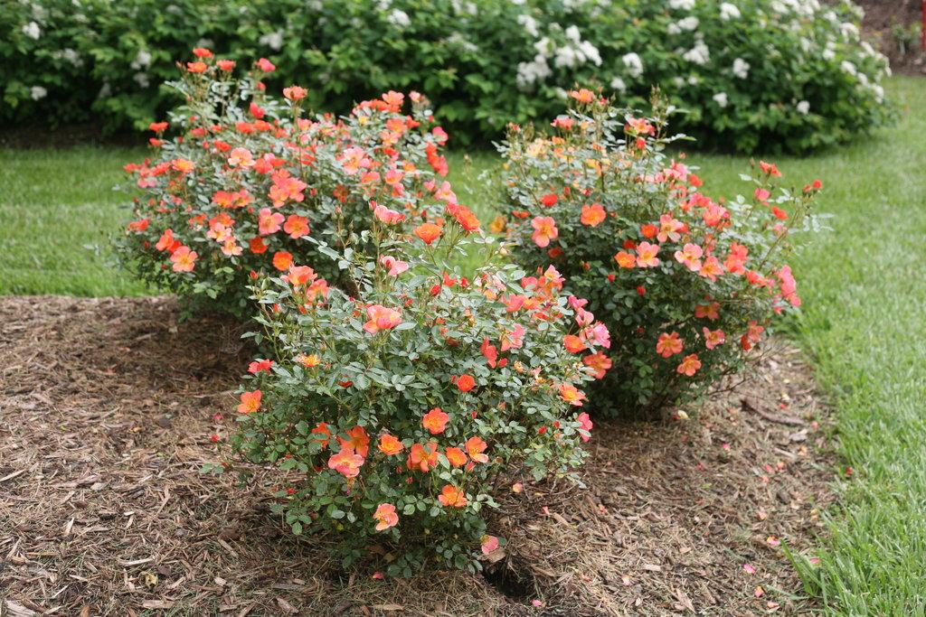Oso Easy Hot Paprika 174 Landscape Rose Rosa X Proven