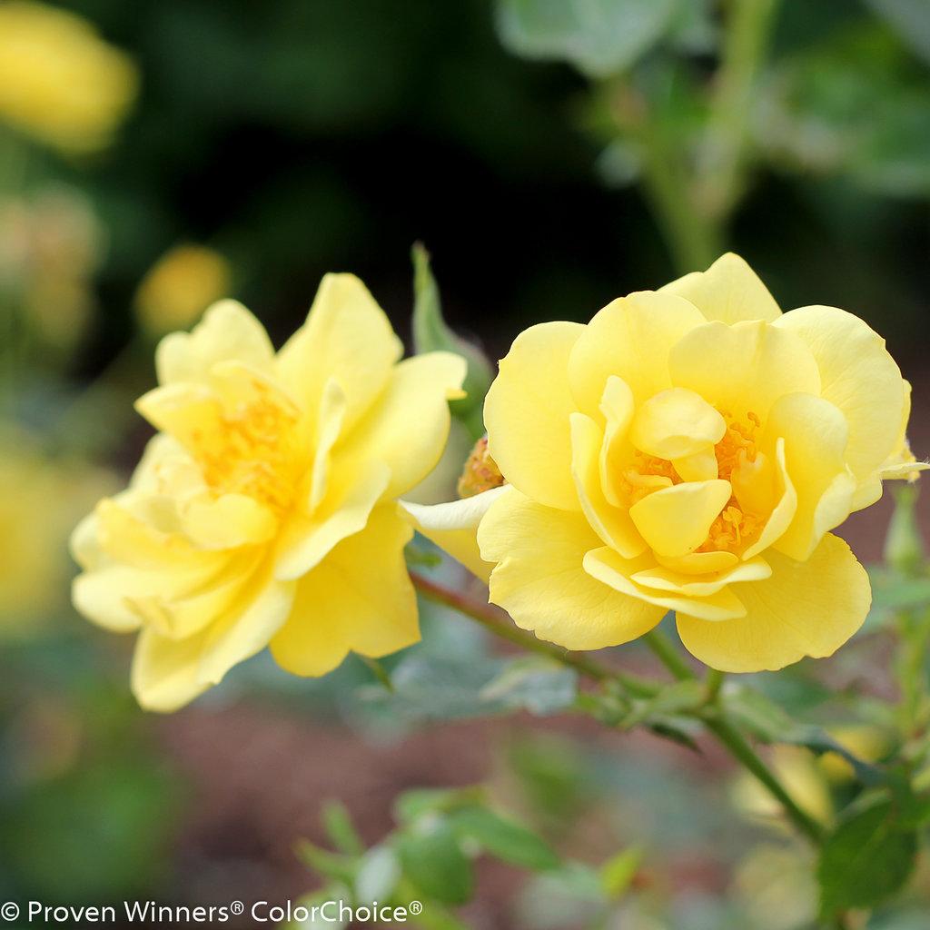 Oso Easy Lemon Zest Landscape Rose Rosa X Proven Winners