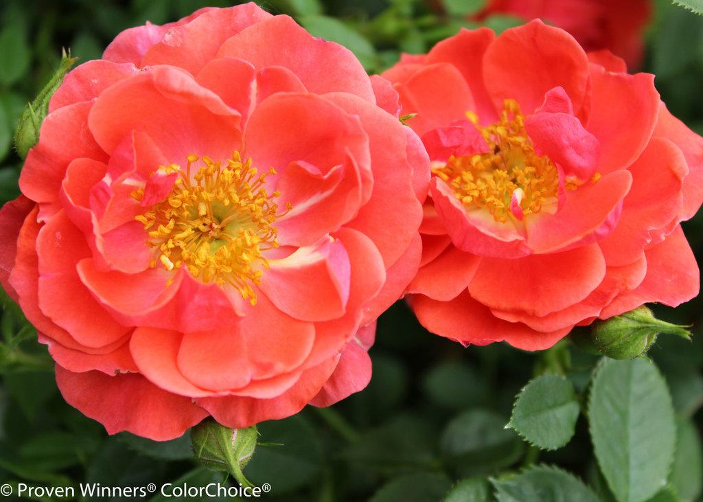 rose - photo #44