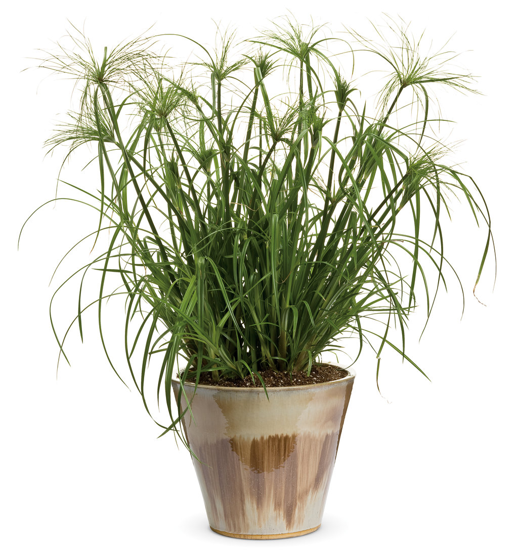 Pampas Grass In Large Vase
