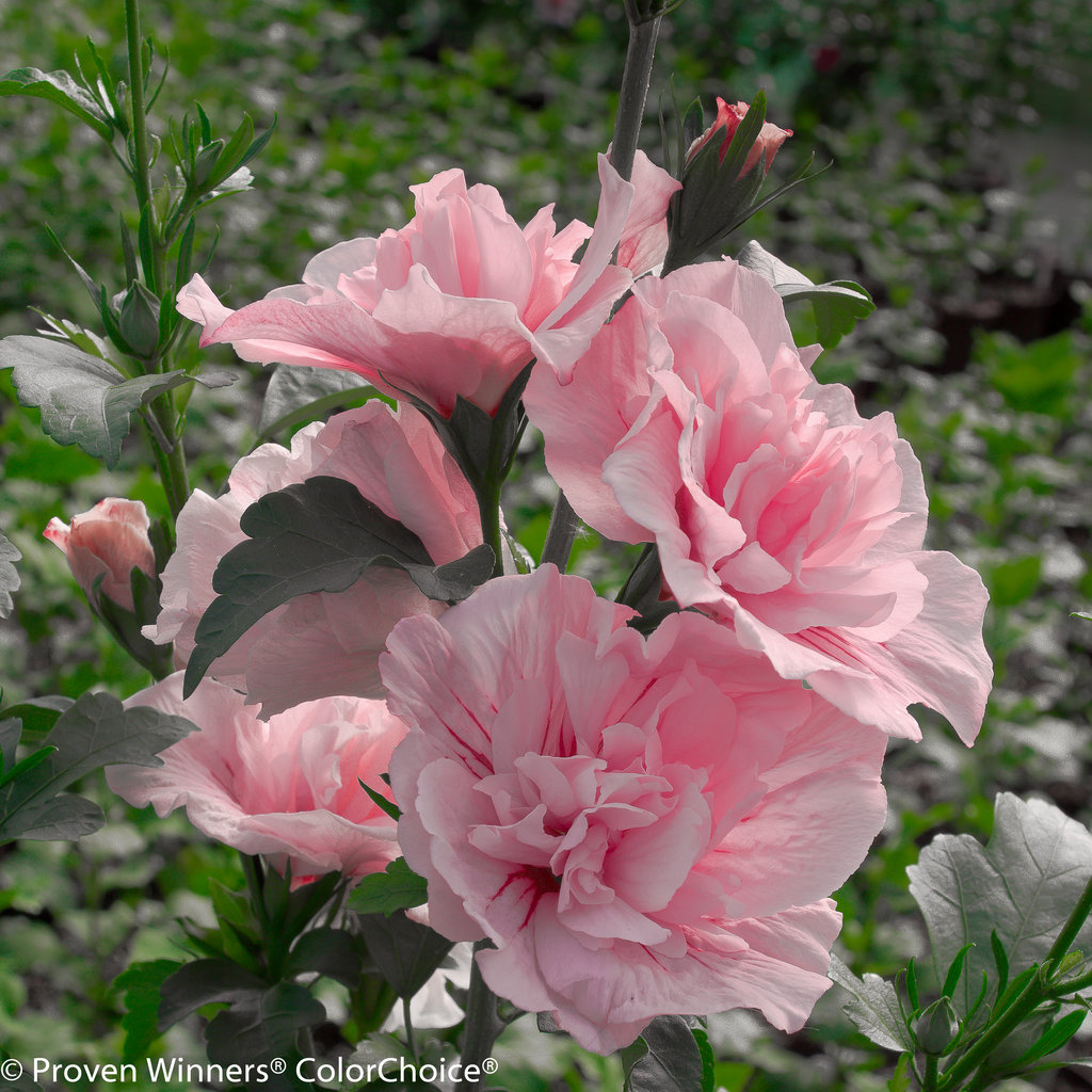 pink chiffon rose of sharon hibiscus syriacus images. Black Bedroom Furniture Sets. Home Design Ideas