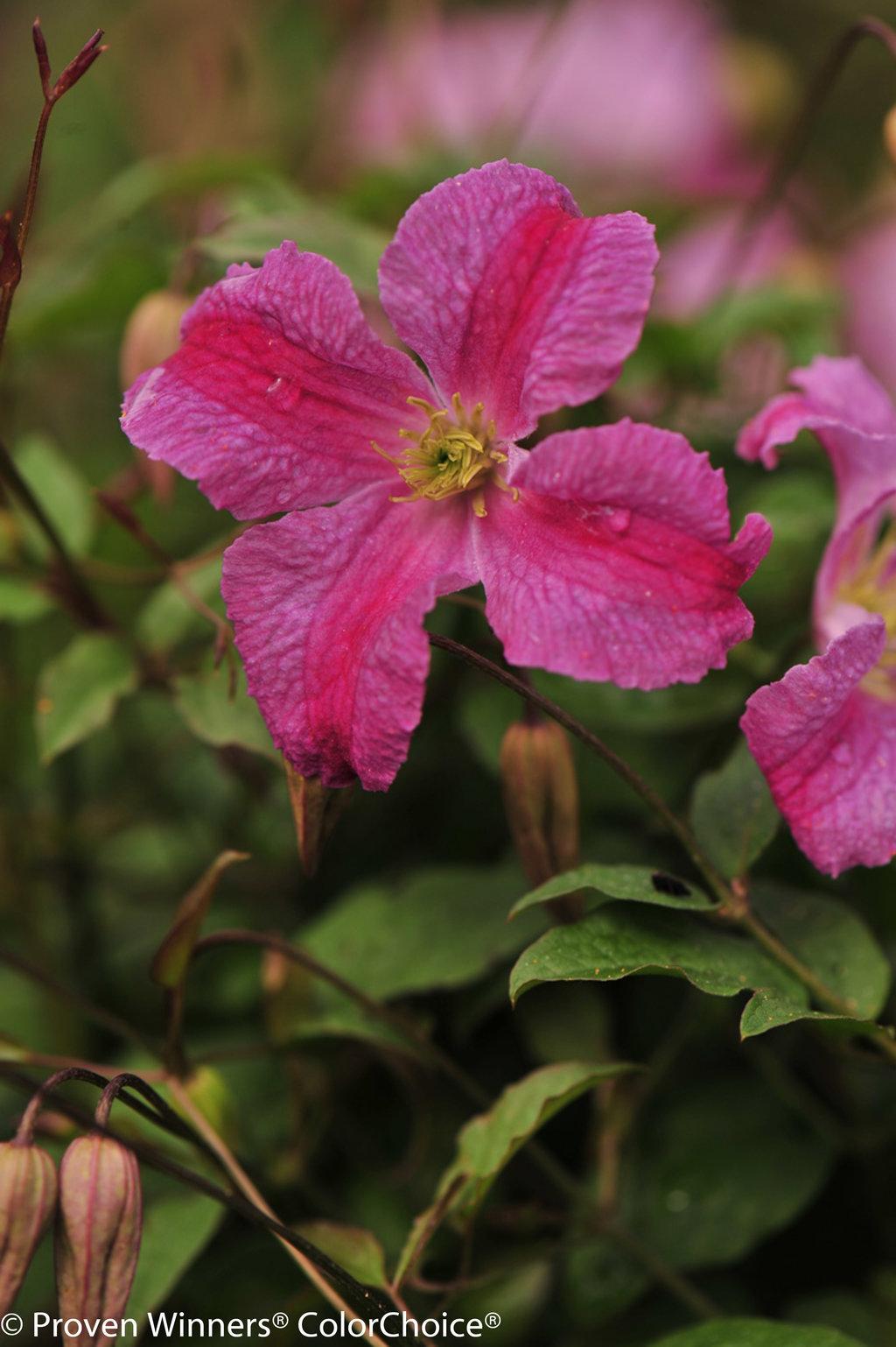 Pink Mink Clematis X Proven Winners
