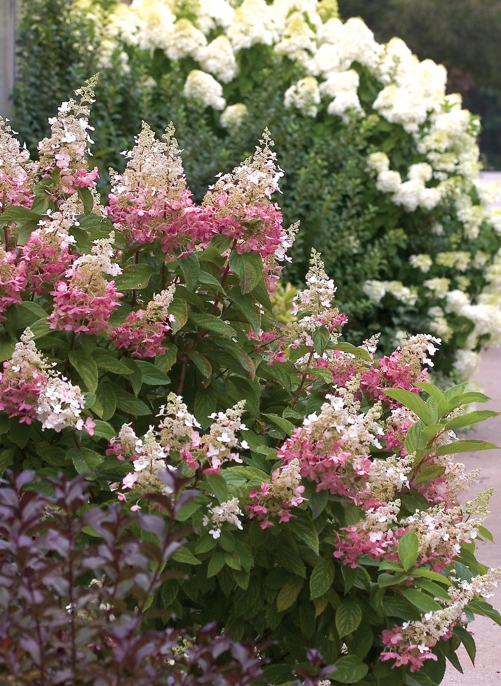 pinky winky panicle hydrangea hydrangea paniculata
