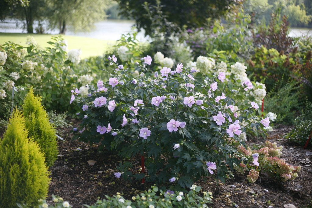 Pollypetite Rose Of Sharon Hibiscus Sp Proven Winners