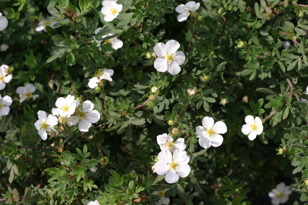 Happy Face 174 White Potentilla Fruticosa Proven Winners