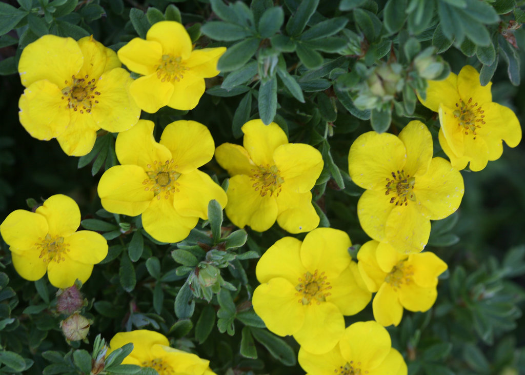 Happy Face 174 Yellow Potentilla Fruticosa Proven Winners